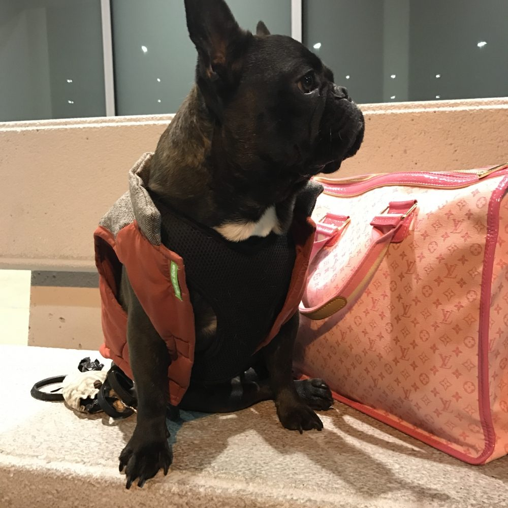 How to Safely Travel with Your French Bulldog