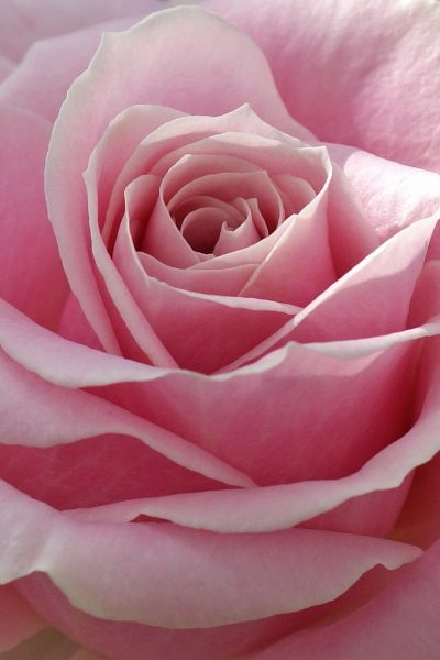 How to Incorporate Planning Into Your Self Care Routine by popular California blog, Haute Beauty Guide: image of a rose